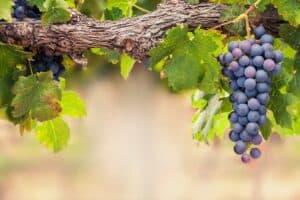 arbol de uvas