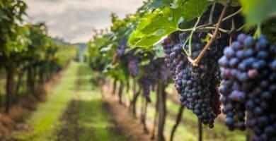 cultivo de uvas