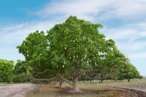 arbol de mango