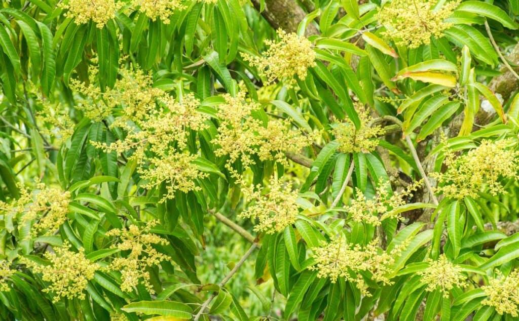 flores de mango