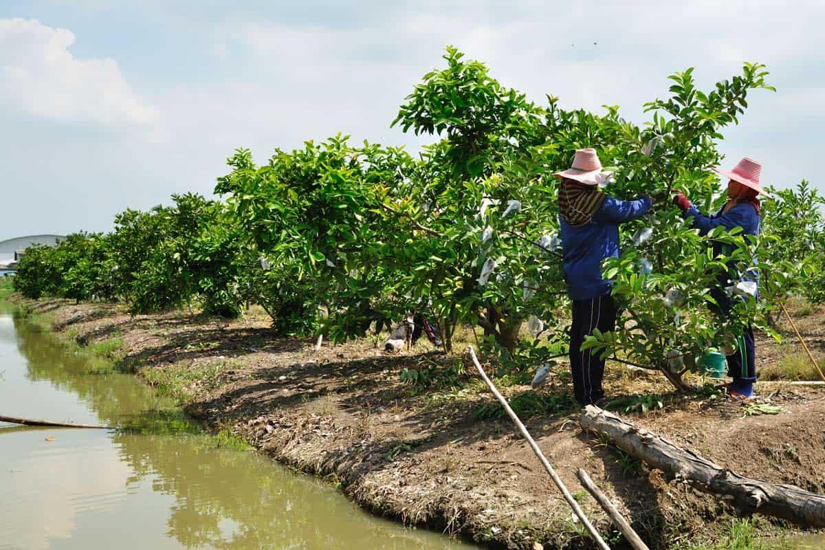guayaba cultivo