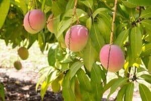 mango fruta arbol