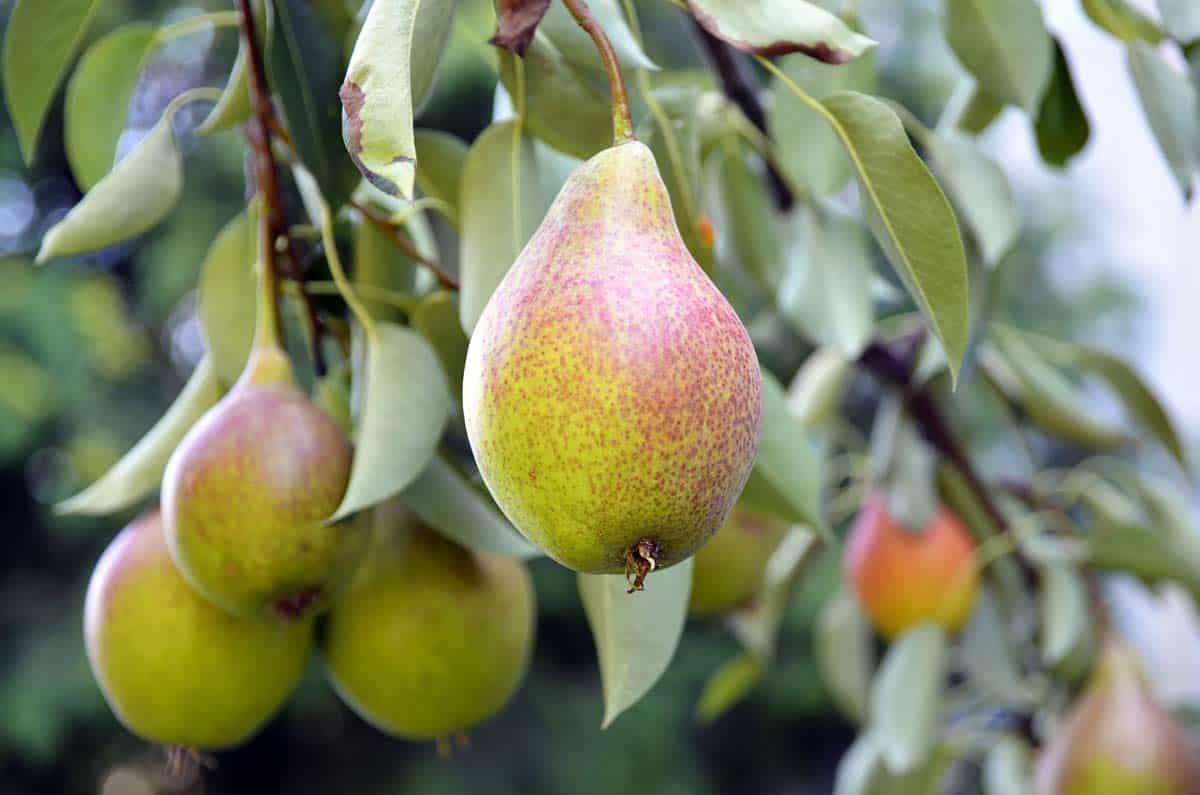 fruto del peral