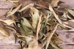 hojas de guanabana