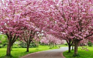 arbol de cereza