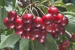 cerezas santina