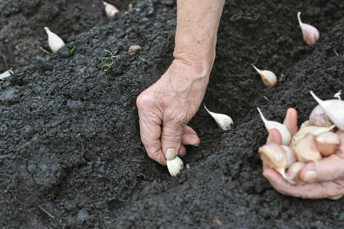 como sembrar ajo