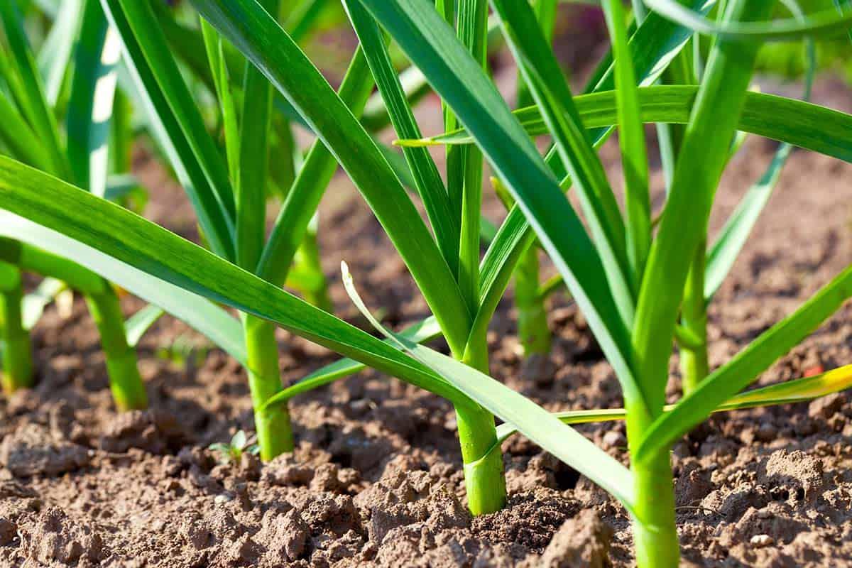 planta de ajo