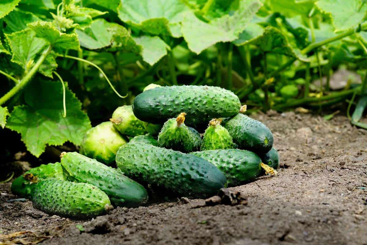 pepino cultivo