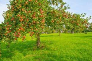 arbol de manzana