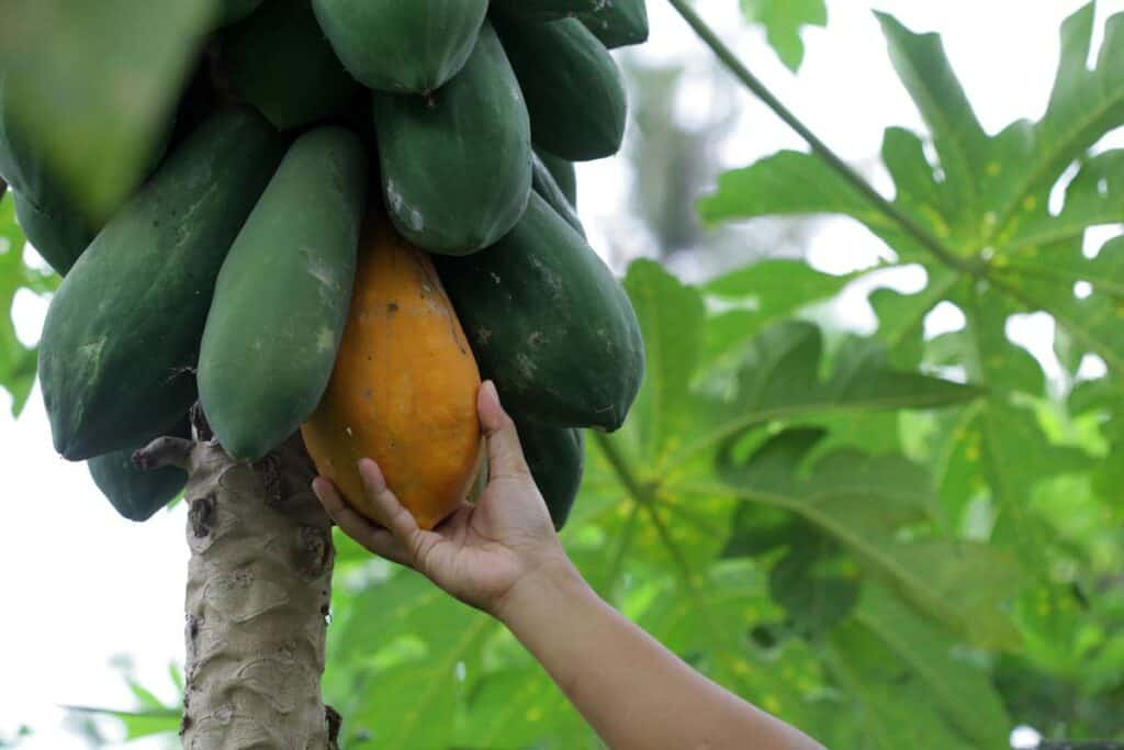 papaya cosecha