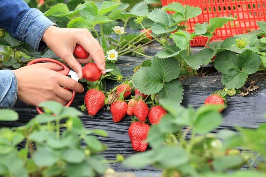 recolectar fresas
