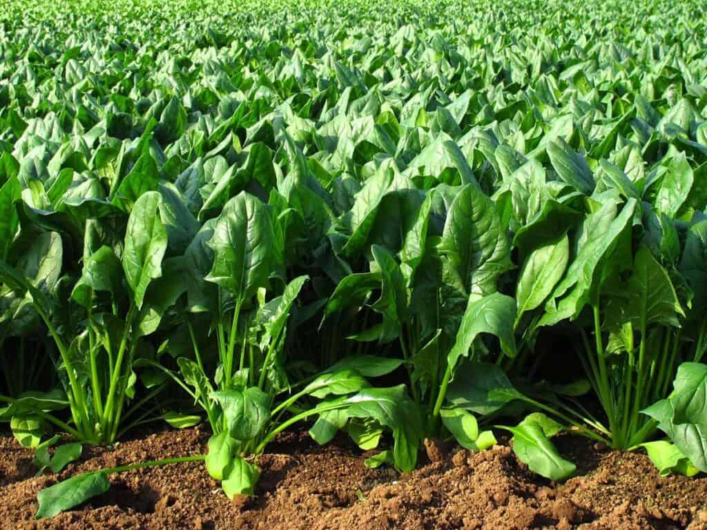 cultivo de espinacas