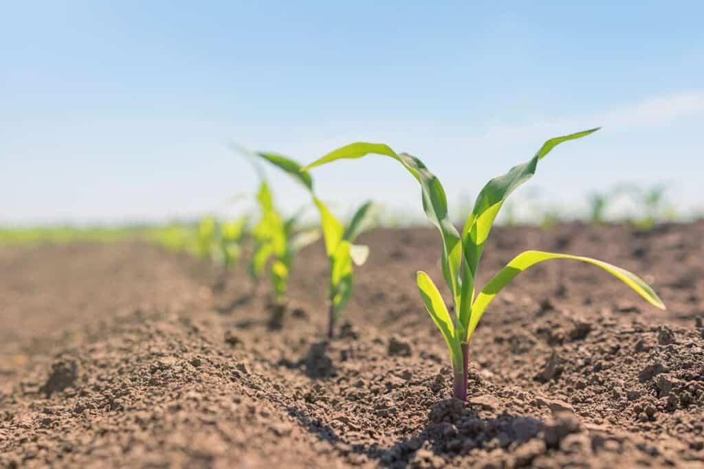 cultivo del maiz