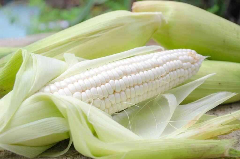 maiz blanco gigante