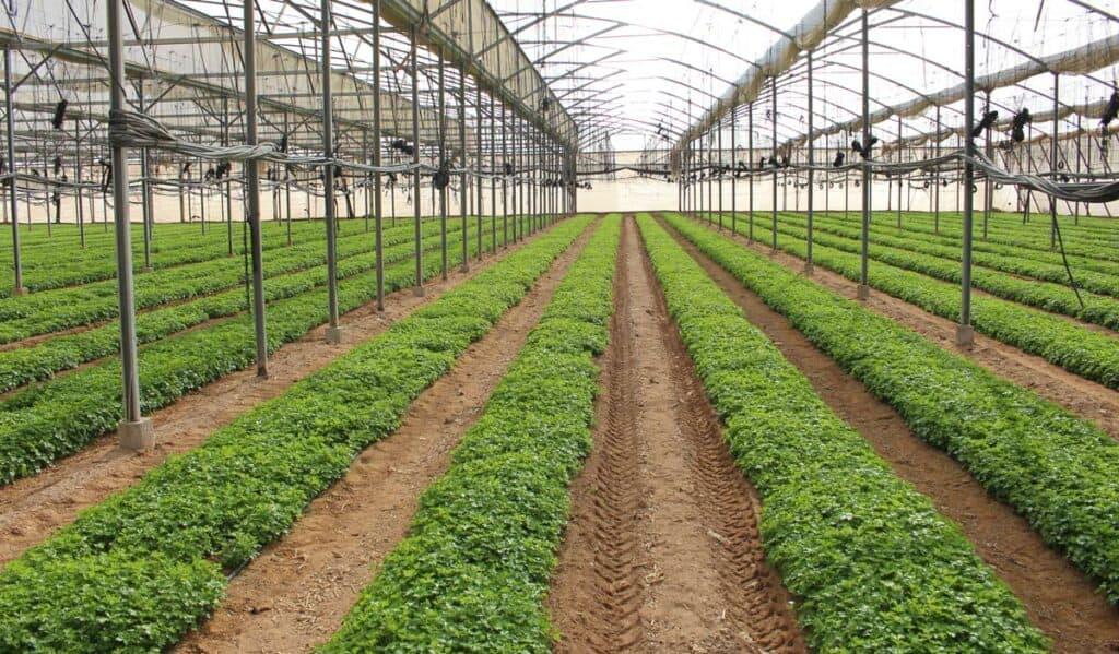 cultivo cilantro