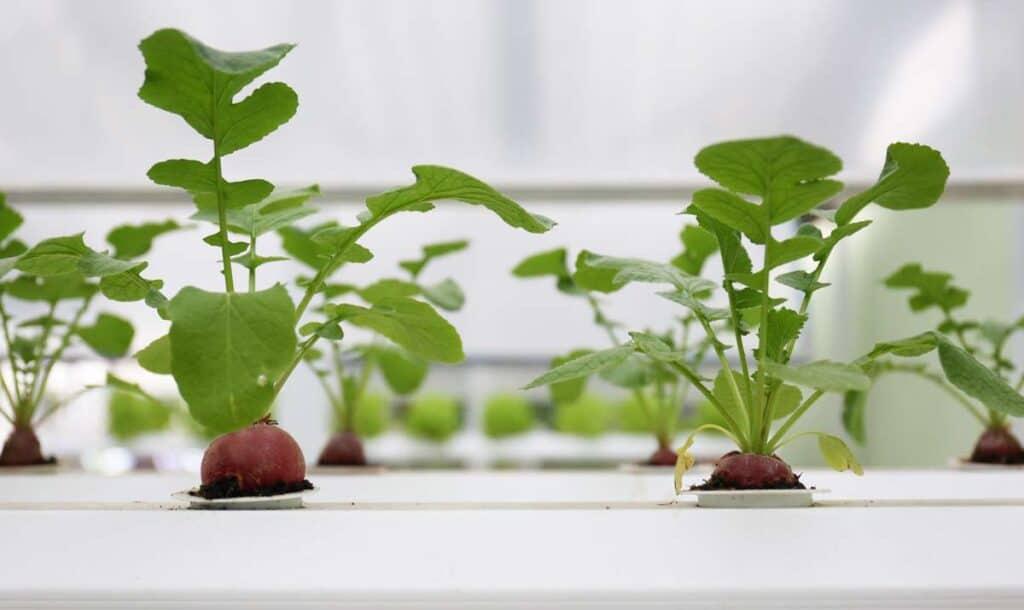 remolacha cultivo
