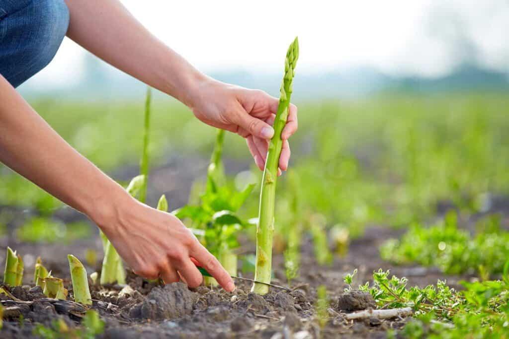 cultivo del esparrago