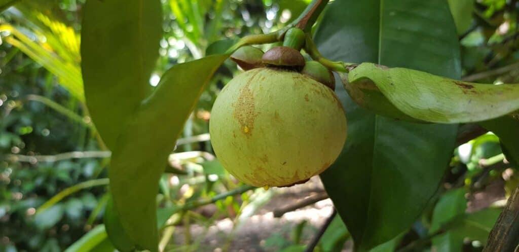 fruta de mangostan