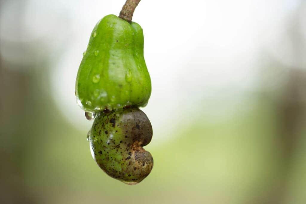 fruta maranon