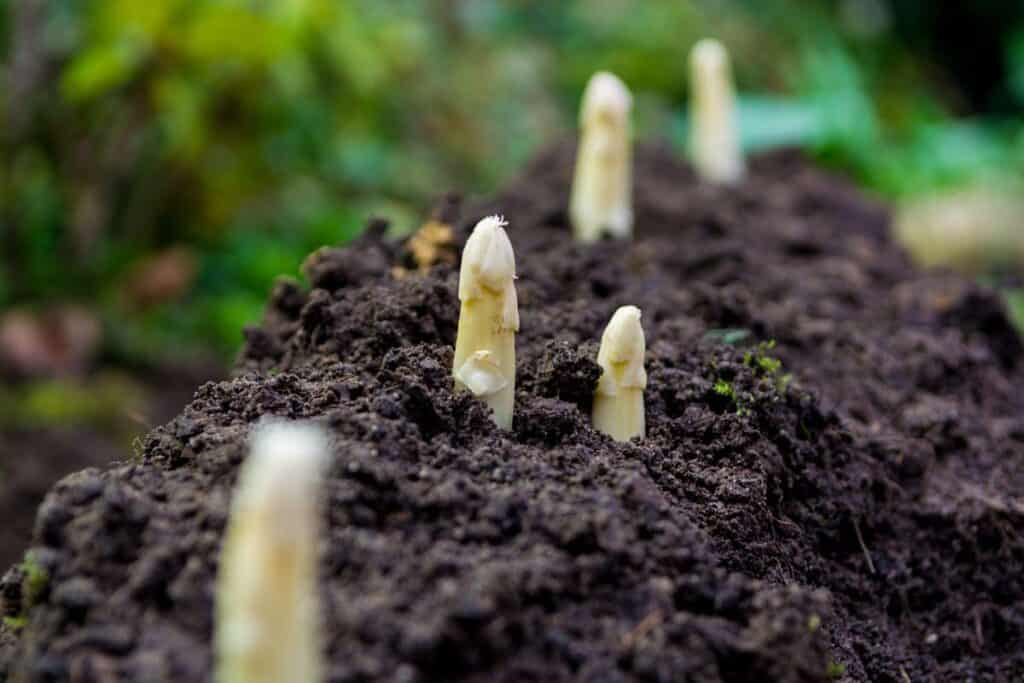 planta de esparrago