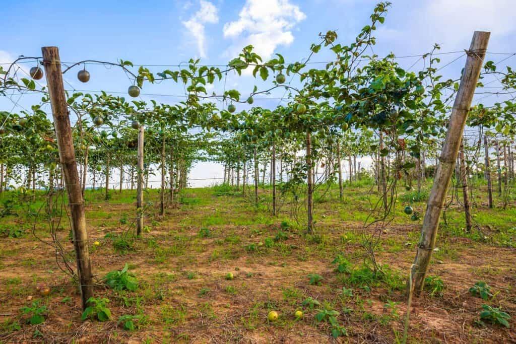 plantacion de maracuya