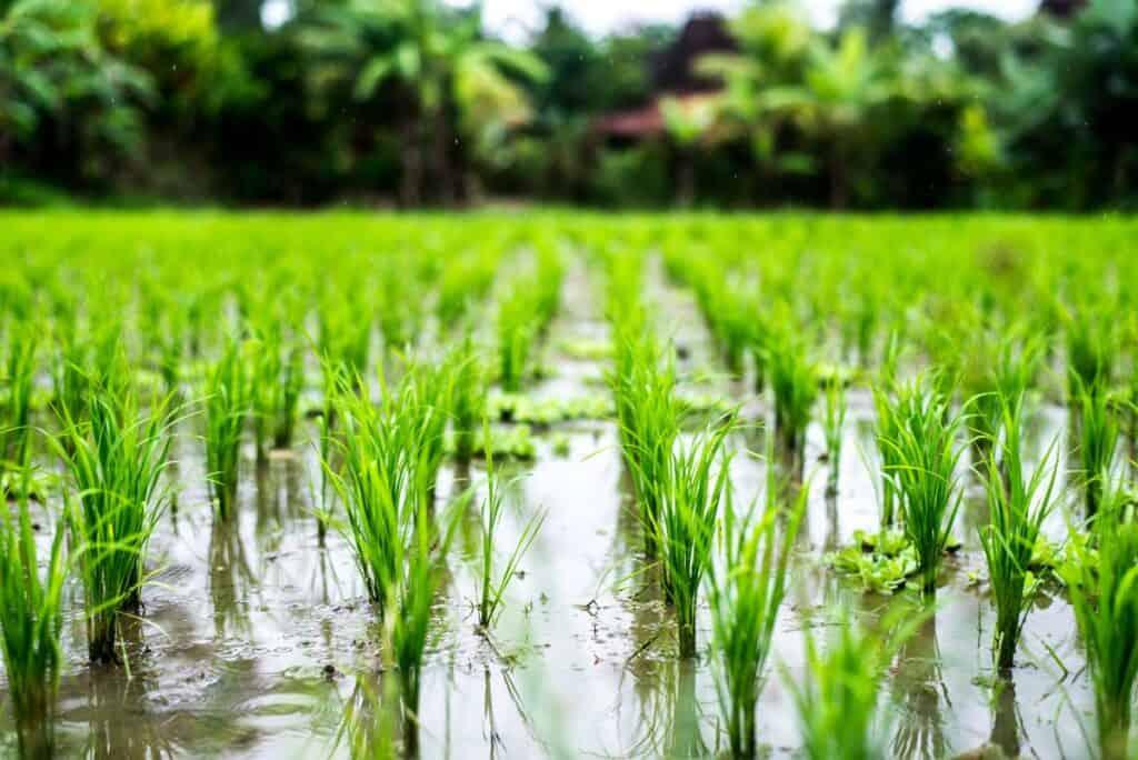 sembrado de arroz