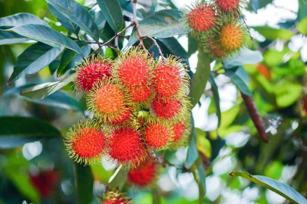 cultivo del rambutan